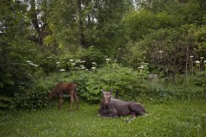 Denali Mountain Trip Backyard Moose