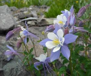 Colorado Blue Columbine white and lavender flowers