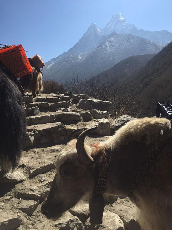 Nepal yaks