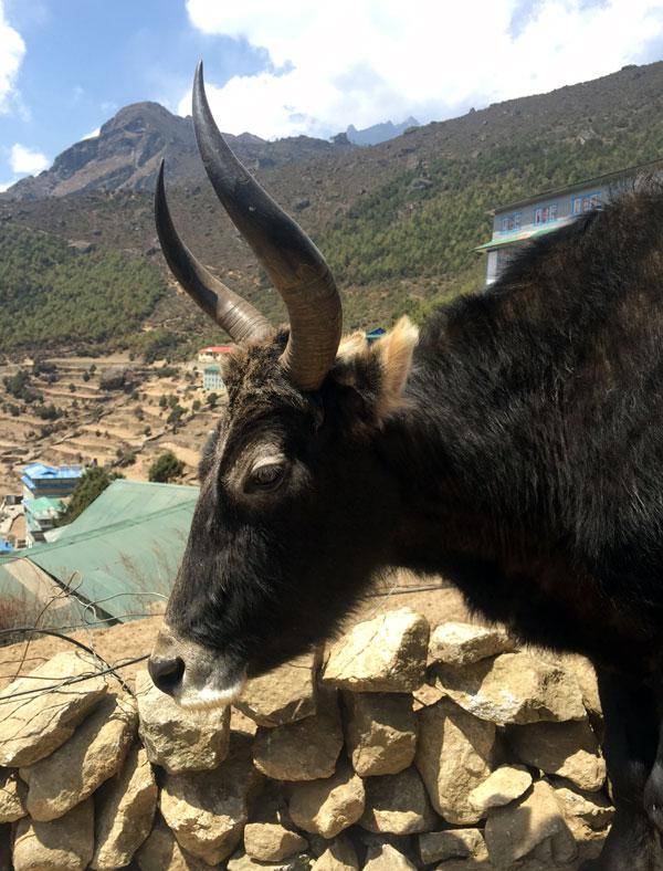 nepal - yak